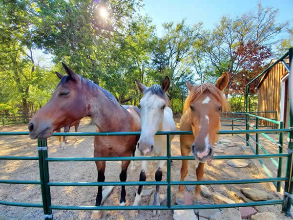 Picture of Epona, Bey, and Comanche, wild mustangs rescued from slaughter.